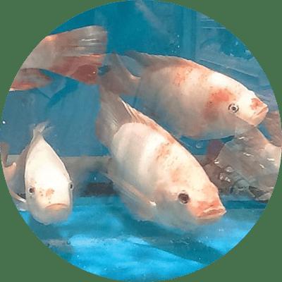 Aquaculture Feed Additive