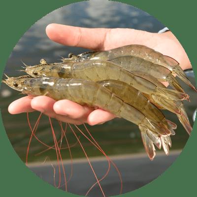 Shrimp Feed Additives