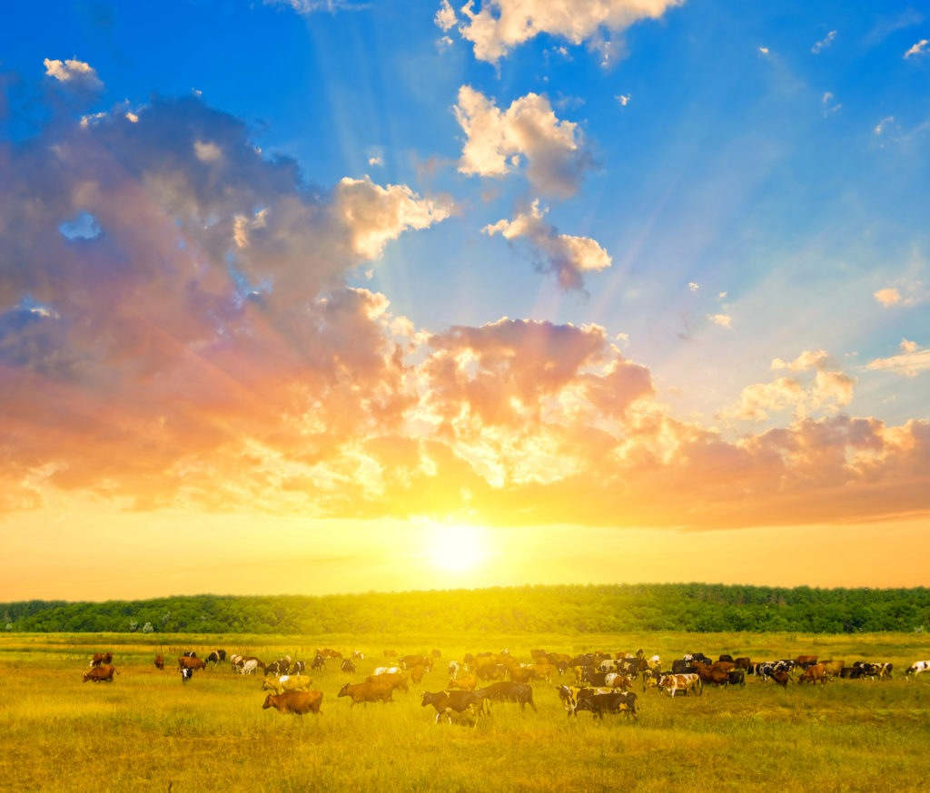Beat the Heat in Beef: How to Handle and Spot Heat Stress in Beef Cattle