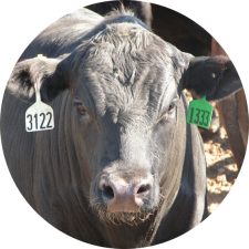 Beef feedlot cattle