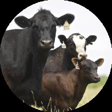 Beef stocker/backgrounder