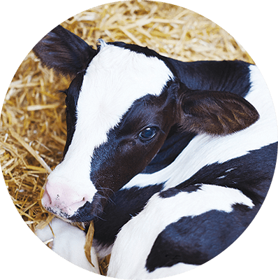 Calf Performance - Dairy Feed Additives