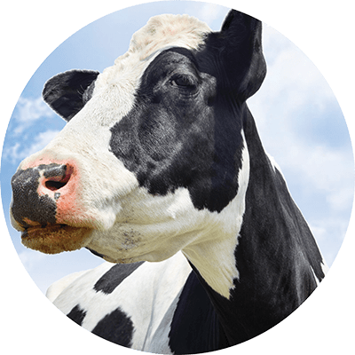 Lactating Cow Performance
