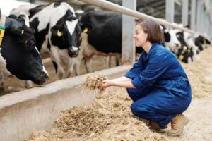 Lady dairy farmer pushing feed to dairy cows