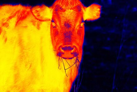Three Steps to Manage Heat Stress in Beef Cattle
