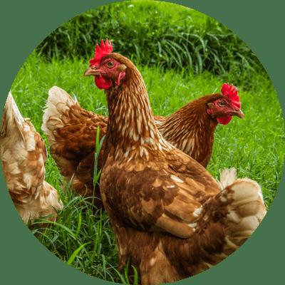 Poultry_Backyard