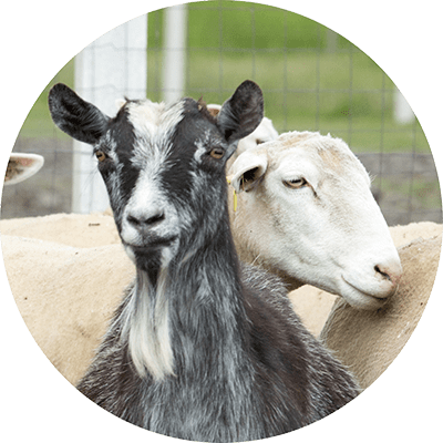 Sheep and Goat Small Ruminant Feed additive