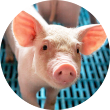 Swine and Pig Feed Additives