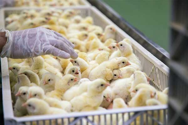 The Avian Immune System: Dilemmas and Opportunities in Modern Poultry Farming