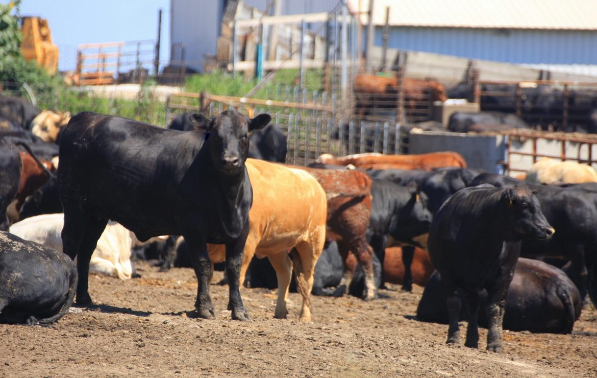 Rumen Health in Beef Cattle: Acidosis, What to Watch For, and More