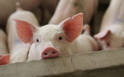 It Takes Guts: Peak Performance in Pigs Starts with Gut Health