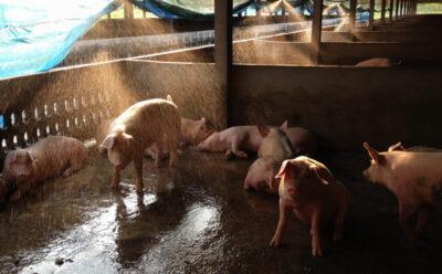 How to Handle Heat Stress in Swine