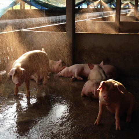 How to Handle Heat Stress in Swine