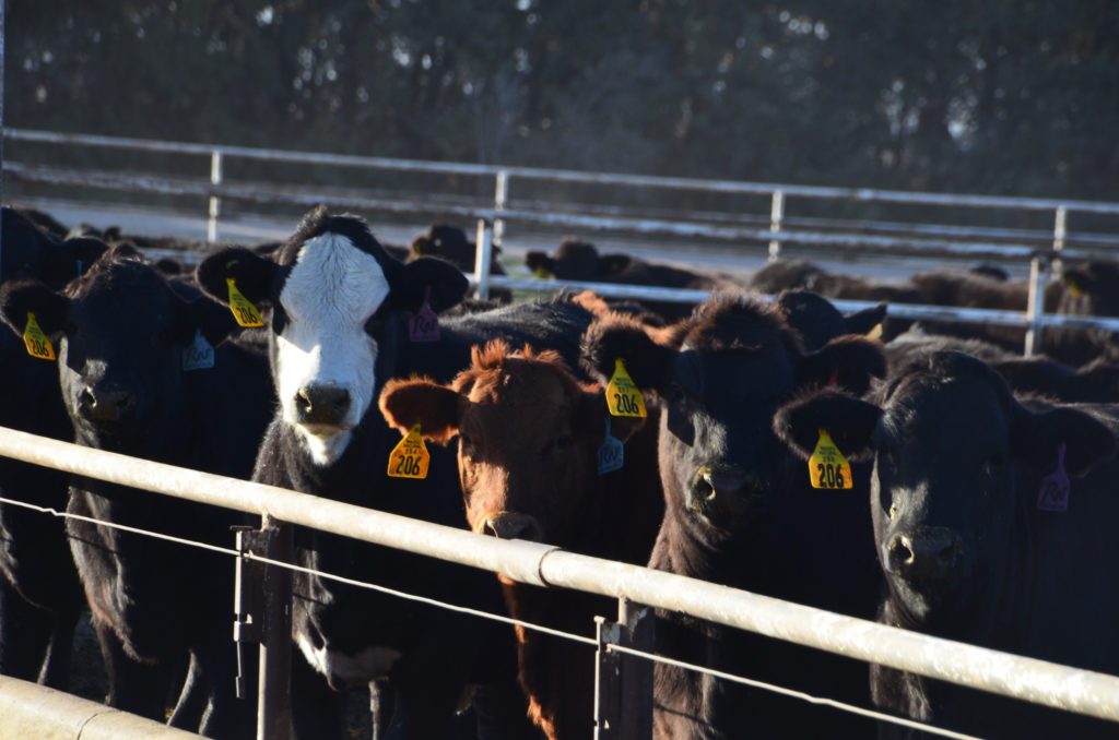 Starting Cattle On The Right Path